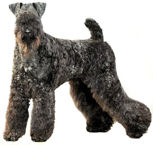 Casey Kerry Blue Terrier